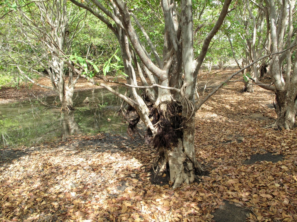 Events on their timeline reveal to us their stalwart capacities; zoom in here to see these Nahwals and/or Nirmadies - who can stand long in water, have roots growing half-way up their trunks - legacies from a good monsoon five or more years ago.